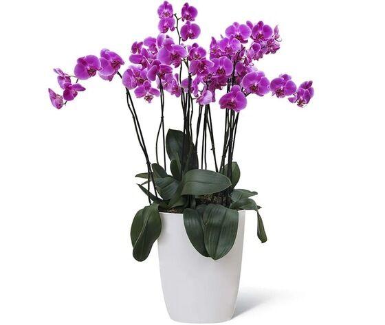 orchidea 6 rami