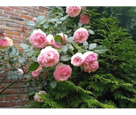 rosa rampicante della meilland