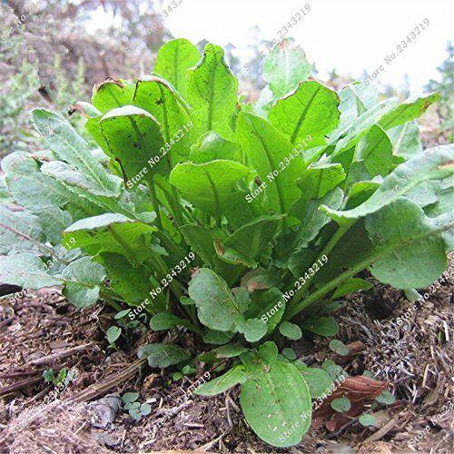 Rumex Patientia Seed fai da te Casa Giardino Economia domestica in vaso bonsai Herb Flower Il Tasso di germinazione 95% 120 pc / sacchetto