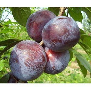 VEG SRLS Pianta vera da frutto ALBERO DI SUSINO SIMILE-PRUNUS DOMESTICA- DOLCE A RADICE NUDA - 1 METRO