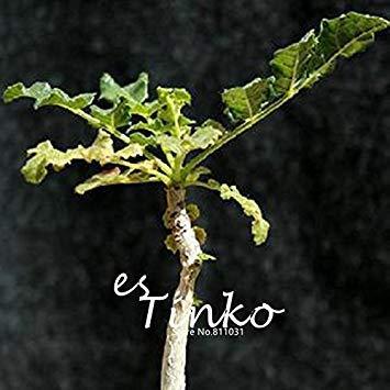 SVI 2PCS rare Boswellia Sacra semi Caudice piante succulente semi rari semi di fiori piante bonsai giardino casa fai da te