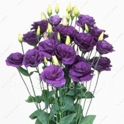 SVI 100 PCS Red Eustoma Semi perenne piante da fiore Lisianthus multicolore per fai da te Casa e giardino 7