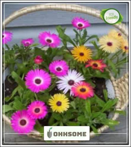 Seedsown Livingston Daisy Giardinaggio Giardino delle Piante Seme Semi