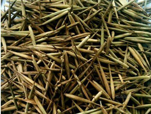 Phyllostachys edulis Semi bambù Moso