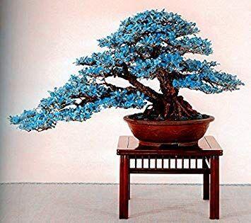 CUSHY Hot-se! 20 pezzi rari seme semi bonsai seme semi y semi fai da te per la casa giardino 1