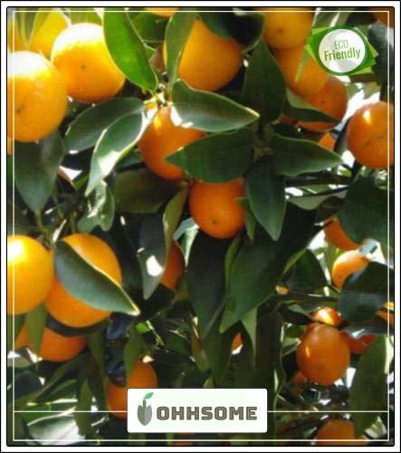 GEOPONICS SEME semi Frutta arancione Frutta Seme per i semi di giardinaggio Frutta Giardino pacchetto dei semi (5 per pacchetto)