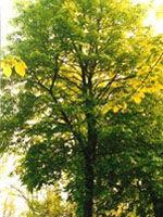 herboplanet srl tsa tilia europea 50ml (902541960)