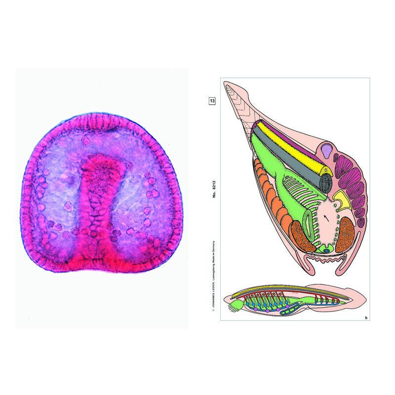 LIEDER Embriologia e sviluppo animale, set base per la scuola (6 preparati)