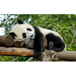 nono Niños Adultos Puzzle 500 Piezas Panda Gigante en Reposo DIY Madera Toys Juego Rompecabezas