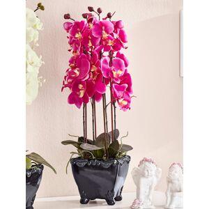 KLiNGEL Phalaenopsis KLiNGEL fuchsia