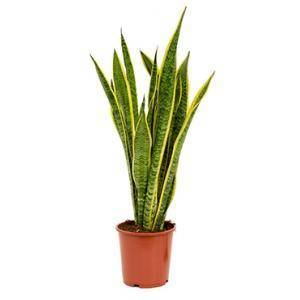 Plantenwinkel.nl Sansevieria laurentii M kamerplant