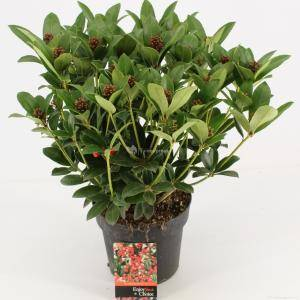 "Plantenwinkel.nl Skimmia (Skimmia Japonica ""Olympic Flame"") heester - 30-40 cm (C3) - 7 stuks"