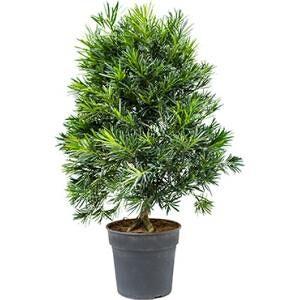 Podocarpus macrophyllus bush bonsai kamerplant