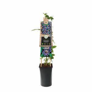"Plantenwinkel.nl Paarse passiebloem (Passiflora ""Purple Haze"") klimplant"