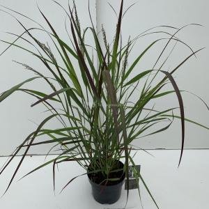 "Plantenwinkel.nl Vingergras (Panicum virgatum ""Squaw"") siergras - In 3 liter pot - 1 stuks"