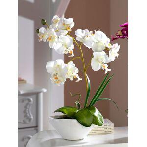 KLiNGEL Phalaenopsis KLiNGEL Wit