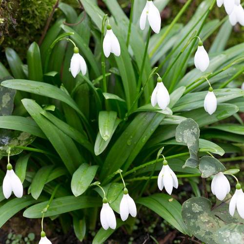 Glanzend Sneeuwklokje bloembollen