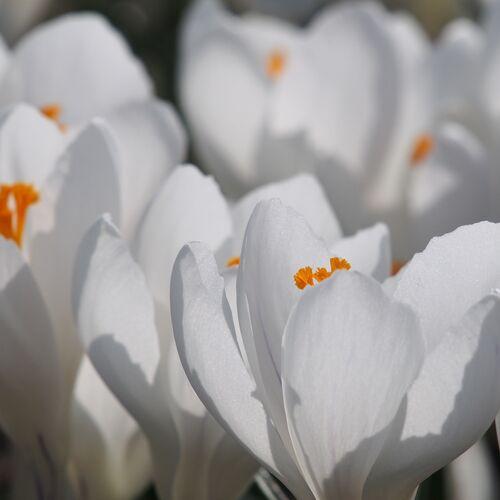 Biologische bloembollen Krokus 'Jeanne D'Arc'