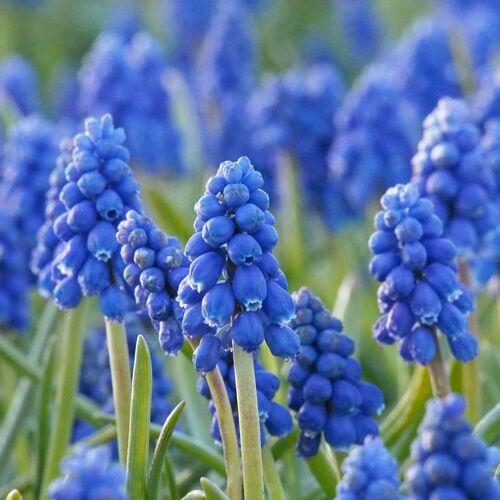 Biologische bloembollen Blauw Druifje