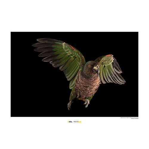 National Geographic Komar  muurschildering   Imperial Parrot   Grootte: 70 x 50 cm   zonder lijst   Poster, fotografie, dier, bedreigde diersoort, dierenafbeelding, kunstdruk, portret   WB-NG-007-70x50