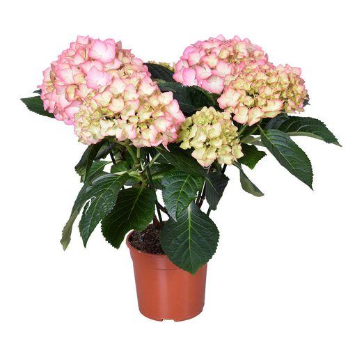 Naduvi Urban Green   Hortensia 30-40 cm glas roze 20x13x16 cm   planten   NADUVI
