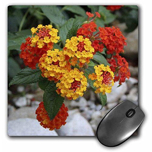 mp_46882_1 3dRose  8x8 rood en goud Lantana bloemen, bloemen, lanten, planten, struiken, ijzerkruid
