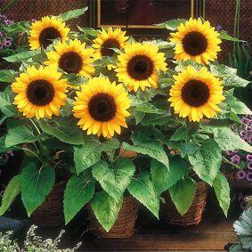 Newchic Egrow 20Pcs/Pack Sunflower Seeds Home Garden DIY Snack Flower Decoration Plants Bonsai