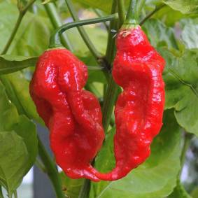 Newchic 200Pcs Indian Ghost Pepper Seeds Chili Seeds Vegetable Rare Red Carolina Pepper Seeds