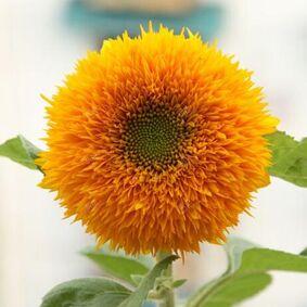 Newchic 15Pcs Teddy Bear Sunflower Seeds Home Garden Semi Dwarf Helianthus Garden Beautiful Flower Seeds