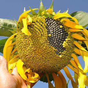 Newchic 30Pcs Giant Sunflower Seeds Rare Seeds Home Garden Planting Ornamental Plants