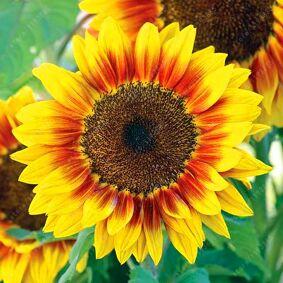 Newchic 40pcs Dwarf Sunflower Seeds Rare Indoor Flower Seeds Organic Heirloom