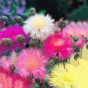 Newchic Egrow 100Pcs/Pack Mixed Cornflower Seeds Centaurea Moschata Annual Potted Helichrysum Flower