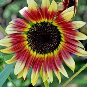 Newchic 40Pcs Mixed Colored Sunflower Seeds Rare Bonsai Flower Seeds Garden potted Plant