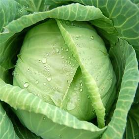 Newchic 100Pcs Giant Cabbage Seeds Organic Seeds Vitamin Vegetables Courtyard Plant