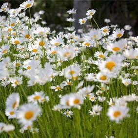 Newchic Egrow 50/100 Pcs/Pack White Chamomile Seeds Garden Indoor Balcony Flower Seeds