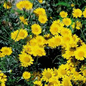 Newchic 50 Pcs/Pack Yellow Chamomile Seeds 100 Pcs/Pack Flower Seeds