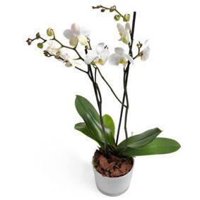 Hvit Phalaenopsis