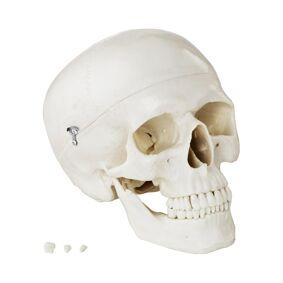 physa Kranium – Anatomisk modell – hvit 10040240