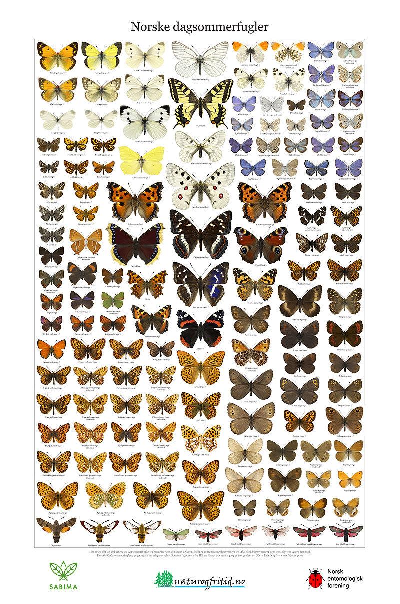 Liljebergs Norske dagsommerfugler Plakat 46x69,5cm
