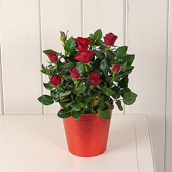 Serenata Flowers Red Potted Rose