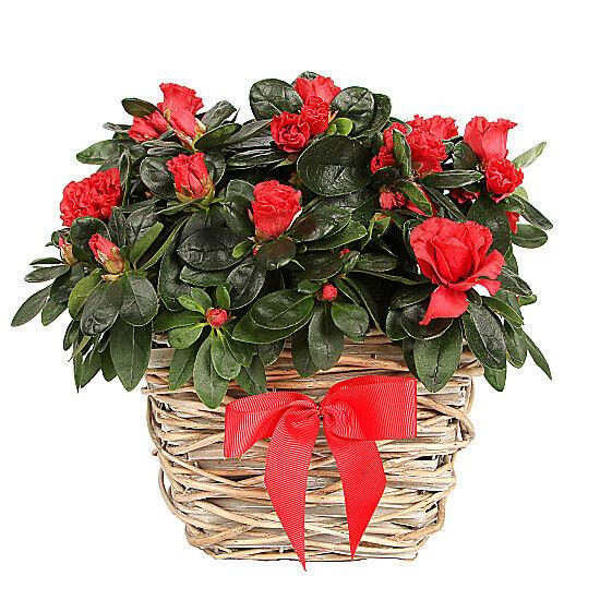 Serenata Flowers Red Azalea Basket