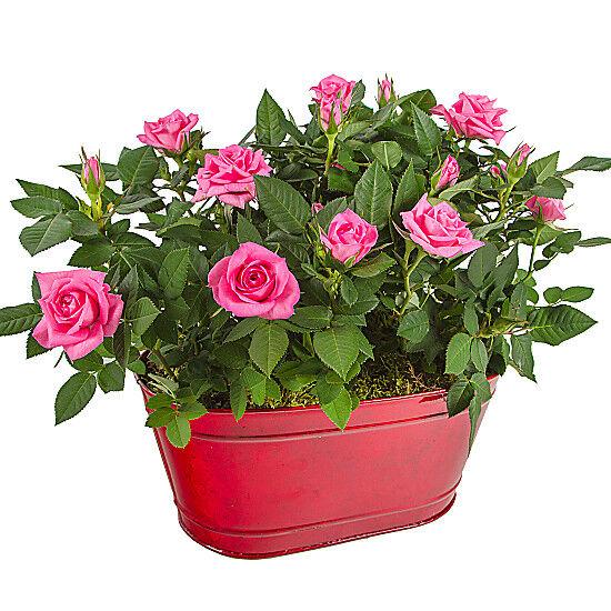 Serenata Flowers The Lovers Roses