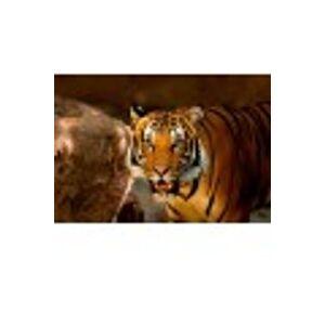 Grafika Kids XXL Pieces - Tiger