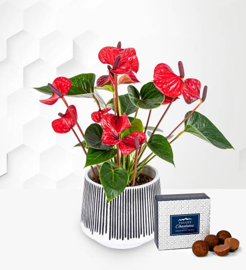 Anthurium Plant - Indoor Plants - Plant Gifts - Plant Gift Delivery - Home Plants - Plant Delivery