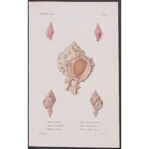 Shells Louis-Charles Kiener [Fine]