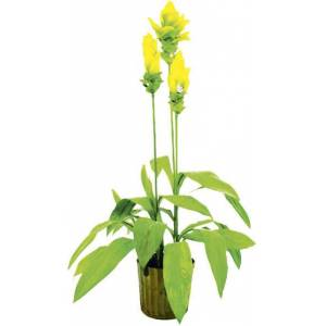 EUROPALMS Ginger lily, 95cm - Flowers