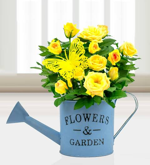 Prestige Hampers Summer Watering Can - Plant Gifts - Yellow Rose Plants - Plant Gift Delivery - Rose Plants