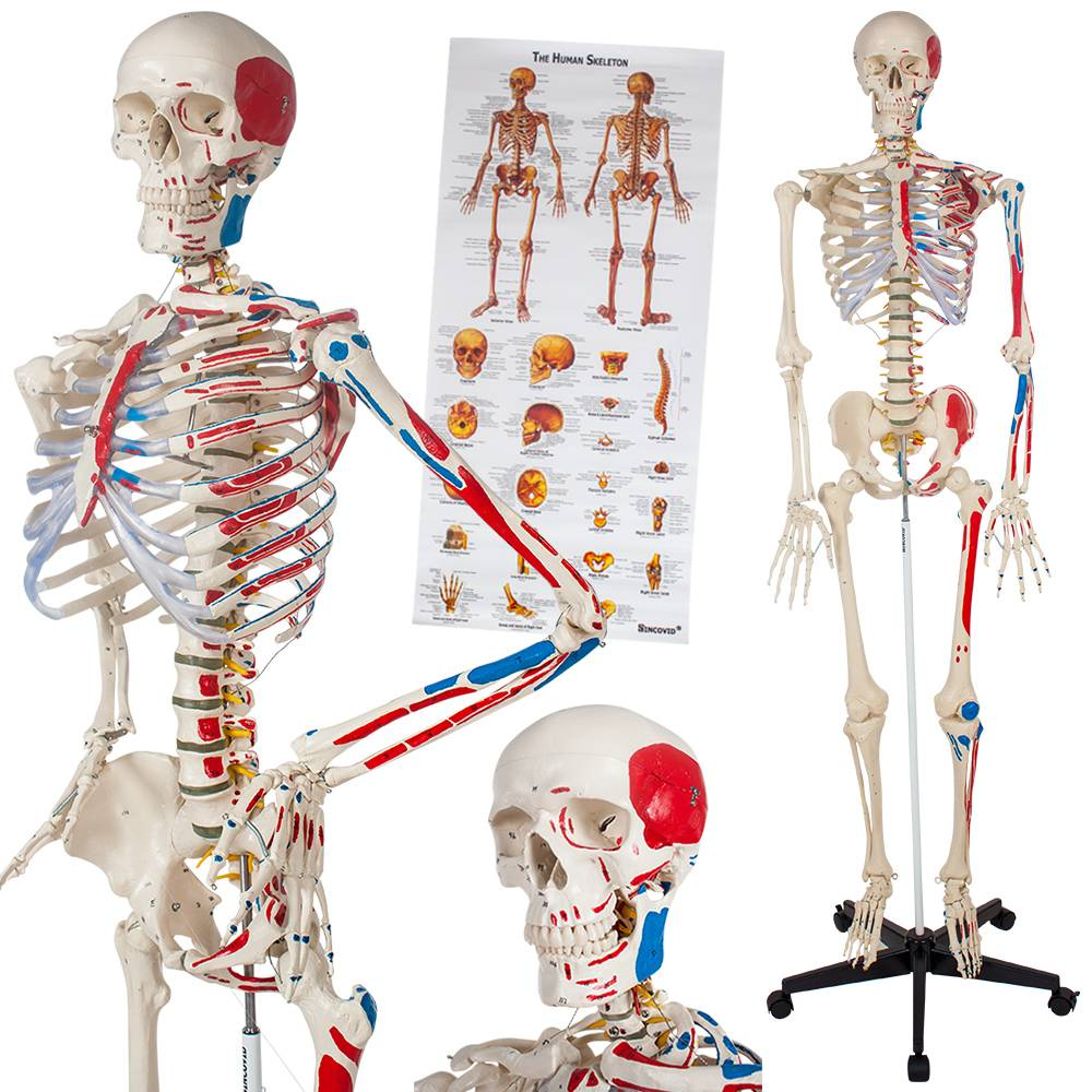 tectake Human skeleton with muscles, bones, and numbering - white