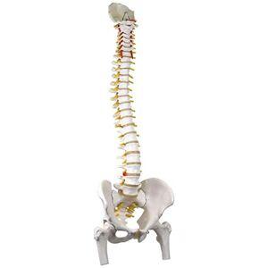 3B Scientific Classic Flexible Spine with Femur Heads + Free Anatomy Software - 3B Smart Anatomy