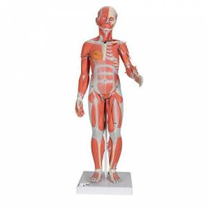 3B Scientific Human Anatomy - Complete Dual Sex Muscular Figure, 33 Part + free anatomy software - 3B Smart Anatomy